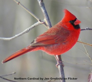 Northern cardinal; photo by Jen Goellnitz on Flick
