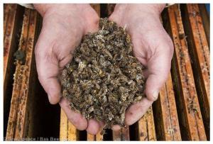 Honeybees Mortality in the Netherlands Imker Henk Brouwer laat dode bijen op de honingraat zien